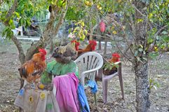 Guardians of the garden `Cock Kingdom`. Some cocks feels that the garden is their kingdom Stock Images