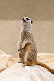 Guarding meerkat Stock Images