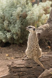 Guarding meerkat sitting on tree trunk Stock Photos