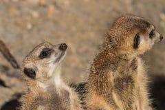 Guarding meerkats Stock Image
