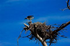 Guarding the nest royalty free stock images