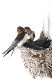 Guarding nestling. Swallow the whole family ,against the surrounding environment royalty free stock images
