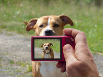 Guarding pit bull dog in camera viewfinder. Guarding pit bull dog in camera lens viewfinder Stock Photography