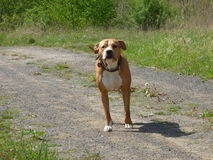 Guarding pit bull dog Royalty Free Stock Image