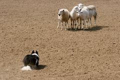Guarding the Sheep. A sheepdog guarding his flock stock photos