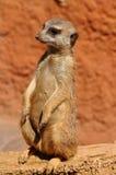 Guarding suricata Stock Photography