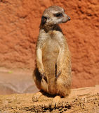 Guarding suricata Royalty Free Stock Photo