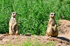 Guarding suricata Royalty Free Stock Photos
