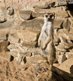 A guarding suricate. Standing in a zoo Stock Photos
