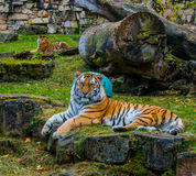 Guarding tigers Stock Images