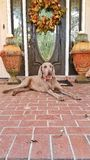 Guarding treasures. Old dog laying on brick walkway in front of door Royalty Free Stock Images