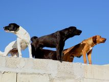 Guards. Guard Dogs over farmhouse rooftop in Malta Stock Photography