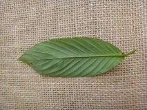 Guarea guidonia, bladbotten royaltyfria foton