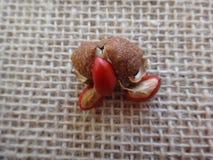 Guarea guidonia owoc Zdjęcie Royalty Free