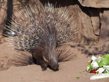 Guarging porcupine portrait Royalty Free Stock Image