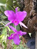 Costa rica  national flower Stock Photo