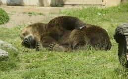 Guarida despredadora de la piel del mamífero marrón del oso Imagen de archivo libre de regalías