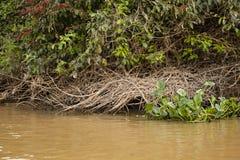 Guarida gigante de la nutria a lo largo del Riverbank fotografía de archivo