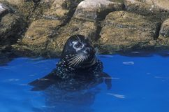 Guarnizione in acqua, mondo del mare, San Diego, CA fotografia stock libera da diritti