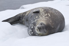 Guarnizione adulta di Weddell che si trova nell'ANTARTIDE della neve Fotografie Stock Libere da Diritti