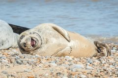 Guarnizione allegra su una spiaggia Fotografie Stock