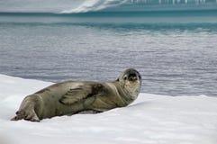Guarnizione antartica del leopardo Fotografie Stock