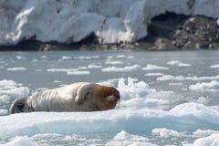 Guarnizione barbuta, le Svalbard - Norvegia fotografia stock
