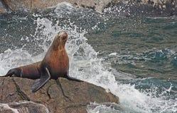 Guarnizione che cattura un acquazzone Fotografie Stock Libere da Diritti