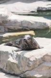 Guarnizione che mette su roccia fuori in zoo Fotografia Stock