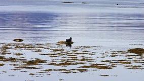 Guarnizione che riposa alla colonia di foche del Ytri-Tunga Fotografia Stock