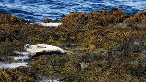 Guarnizione che riposa alla colonia di foche del Ytri-Tunga Immagine Stock Libera da Diritti