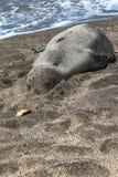 Guarnizione che riposa sulla spiaggia, Kauai, Hawai del monaco fotografia stock