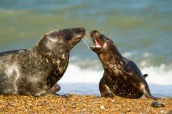 Guarnizione comune grigia due sul gioco della spiaggia fotografie stock libere da diritti