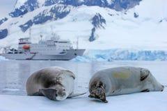 Guarnizione davanti alla nave, barca, penisola antartica Fotografia Stock