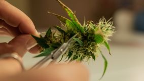 Guarnizione dei germogli della marijuana in primo piano Sforzi della cannabis nel 2019 fotografie stock