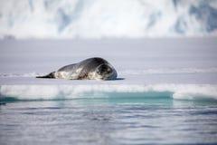 Guarnizione del leopardo che si siede su un iceberg immagini stock libere da diritti