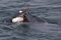 Guarnizione del leopardo che sta provando ad afferrare i pinguini di Gentoo in A Fotografia Stock