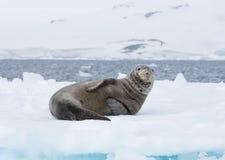 Guarnizione del leopardo su un iceberg immagini stock libere da diritti