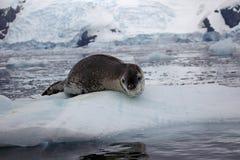 Guarnizione del leopardo sulla banchisa galleggiante di ghiaccio, Antartide Immagini Stock Libere da Diritti