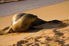guarnizione della rana pescatrice della spiaggia fotografia stock