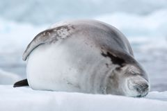 Guarnizione di Crabeater, Antartide Immagine Stock Libera da Diritti