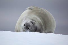 Guarnizione di Crabeater che dorme sulla banchisa galleggiante di ghiaccio, Antartide Immagini Stock Libere da Diritti