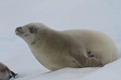 Guarnizione di Crabeater che si trova sul ghiaccio con i suoi occhi Fotografie Stock Libere da Diritti