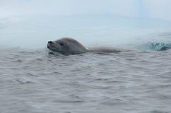 Guarnizione di Crabeater dall'iceberg di galleggiamento Fotografia Stock Libera da Diritti