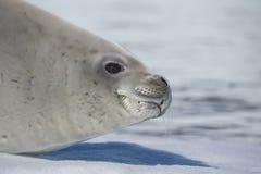 Guarnizione di Crabeater su flusso del ghiaccio, Antartide Immagini Stock Libere da Diritti