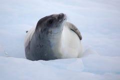 Guarnizione di Crabeater sulla banchisa galleggiante di ghiaccio, Antartide Immagine Stock