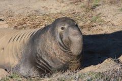 Guarnizione di elefante Fotografia Stock Libera da Diritti