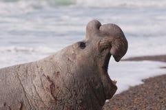 Guarnizione di elefante maschio Fotografie Stock