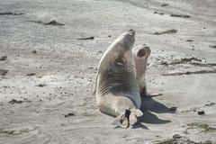 Guarnizione di elefante nella penisola di Valdes fotografia stock