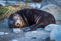 Guarnizione di pelliccia antartica addormentata sulla spiaggia pietrosa Fotografie Stock Libere da Diritti